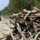 Sepanjang 3 KM, Pohon - Pohon Akasia JLS Gumukmas Jember Dijarah