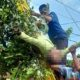 Petugas PLN dibantu warga sedang mengevakuasi korban dari atas pohon. (rir)